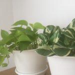 久々に観葉植物を育ててみたら・・・